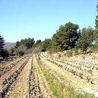 """Vignes au Domaine de La Tour du Bon, parcelle """"L'Olivette"""""""