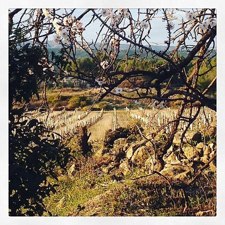 vue hivernale des jeunes plants entre les branches d'amandier en fleur