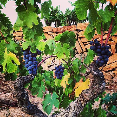 Cépages des vins de Bandol